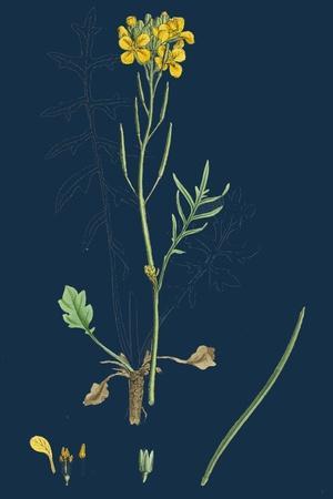 Chamagrostis Minima; Early Sand-Grass--Framed Giclee Print