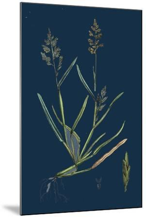 Caucalis Nodosa; Knotted Hedge-Parsley--Mounted Giclee Print