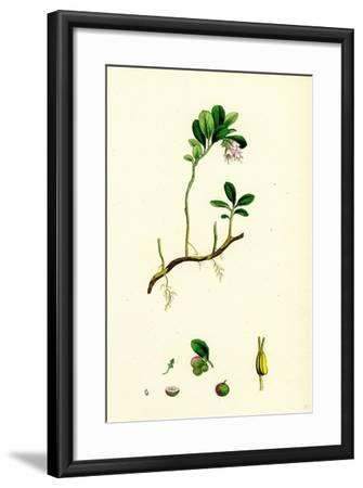 Vaccinium Vitis-Idaea Red Whortleberry--Framed Giclee Print