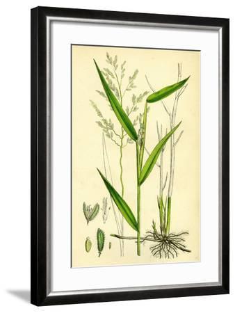 Leersia Oryzoides European Cut-Grass--Framed Giclee Print