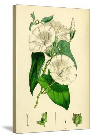 Convolvulus Sepium Great Bindweed--Stretched Canvas Print