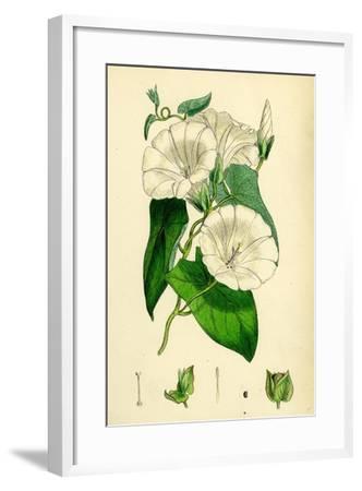 Convolvulus Sepium Great Bindweed--Framed Giclee Print