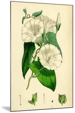 Convolvulus Sepium Great Bindweed--Mounted Giclee Print