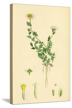 Anthemis Nobilis Common Chamomile--Stretched Canvas Print