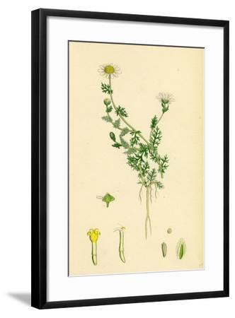 Anthemis Nobilis Common Chamomile--Framed Giclee Print