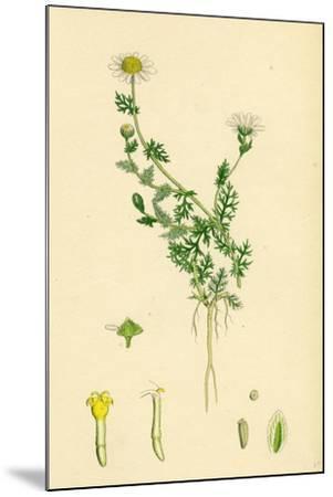 Anthemis Nobilis Common Chamomile--Mounted Giclee Print