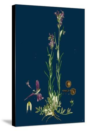 Sisymbrium Sophia; Flix-Weed--Stretched Canvas Print