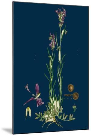 Sisymbrium Sophia; Flix-Weed--Mounted Giclee Print
