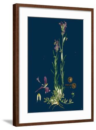 Sisymbrium Sophia; Flix-Weed--Framed Giclee Print