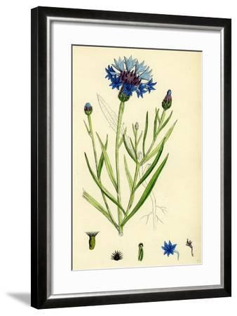 Centaurea Cyanus Blue-Bottle--Framed Giclee Print
