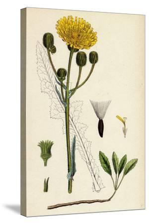 Sonchus Arvensis Corn Sow-Thistle--Stretched Canvas Print