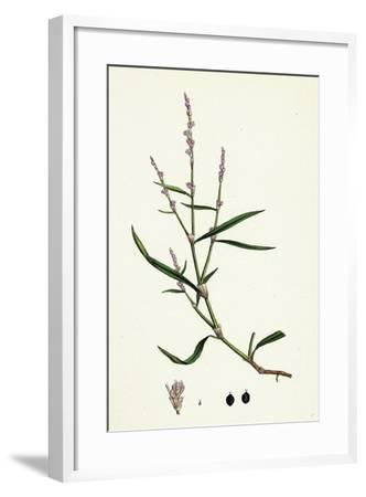 Polygonum Minus Small Persicaria--Framed Giclee Print