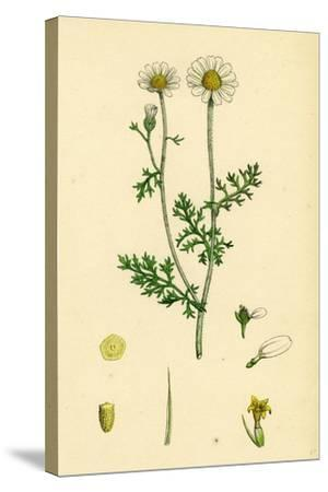Anthemis Cotula Stinking Mayweed--Stretched Canvas Print