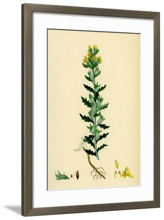 Bartsia Viscosa Yellow Bartsia--Framed Giclee Print