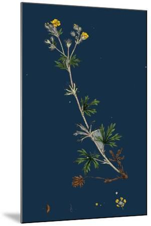 Potentilla Anserina; Silver-Weed--Mounted Giclee Print