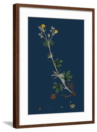 Potentilla Anserina; Silver-Weed--Framed Giclee Print