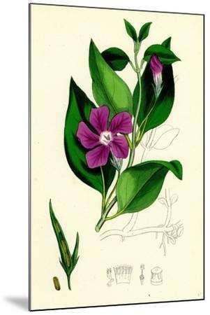 Vinca Major Greater Periwinkle--Mounted Giclee Print