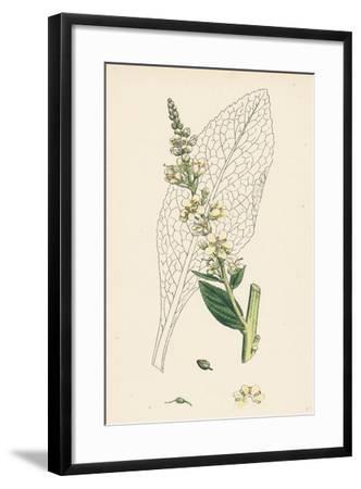 Verbascum Lychnitis White Mullein--Framed Giclee Print