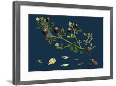 Asperula Odorata; Sweet Woodruff--Framed Giclee Print