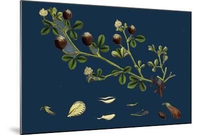 Asperula Odorata; Sweet Woodruff--Mounted Giclee Print