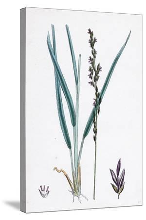 Molinia Caerulea Purple Melic-Grass--Stretched Canvas Print