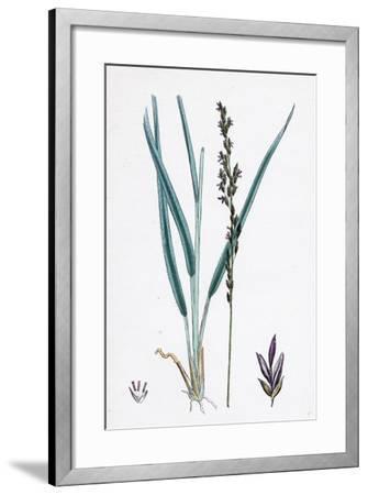 Molinia Caerulea Purple Melic-Grass--Framed Giclee Print