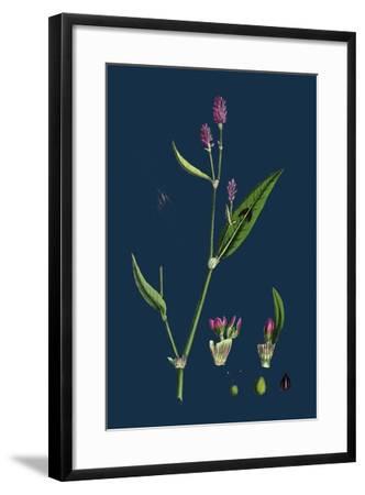 Vicia Bithynica; Bithynian Vetch--Framed Giclee Print