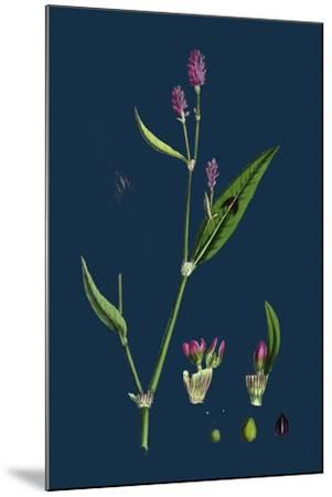 Vicia Bithynica; Bithynian Vetch--Mounted Giclee Print