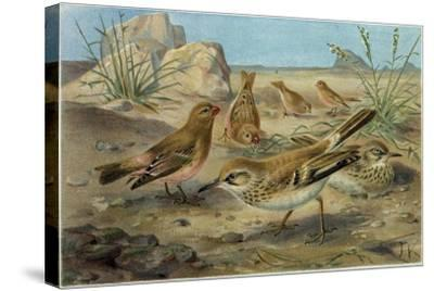 Desert Finch and Desert Lark--Stretched Canvas Print