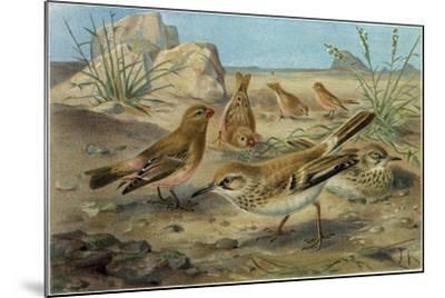 Desert Finch and Desert Lark--Mounted Giclee Print