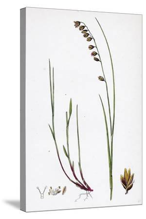Melica Nutans Nodding Melic-Grass--Stretched Canvas Print
