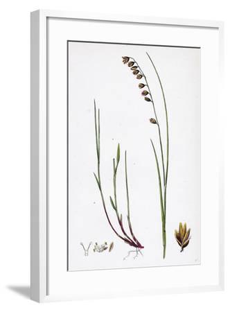 Melica Nutans Nodding Melic-Grass--Framed Giclee Print