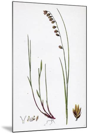 Melica Nutans Nodding Melic-Grass--Mounted Giclee Print