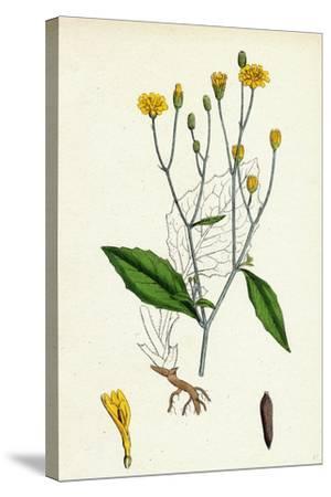 Lapsana Communis Common Nipple-Wort--Stretched Canvas Print