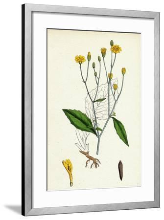 Lapsana Communis Common Nipple-Wort--Framed Giclee Print