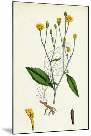 Lapsana Communis Common Nipple-Wort--Mounted Giclee Print