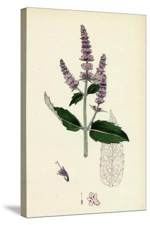 Mentha Sylvestris Common Horse-Mint--Stretched Canvas Print