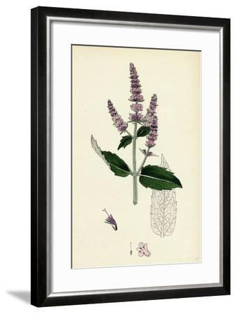 Mentha Sylvestris Common Horse-Mint--Framed Giclee Print
