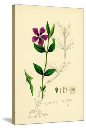Vinca Minor Lesser Periwinkle--Stretched Canvas Print