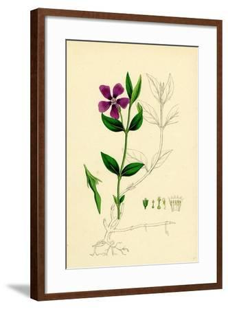 Vinca Minor Lesser Periwinkle--Framed Giclee Print