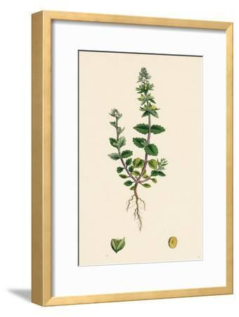 Veronica Arvensis Wall Speedwell--Framed Giclee Print