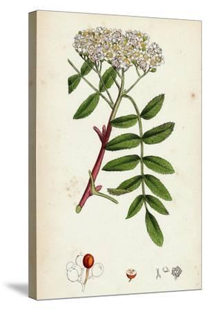 Pyrus Aucuparia Mountain-Ash--Stretched Canvas Print