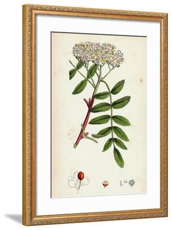Pyrus Aucuparia Mountain-Ash--Framed Giclee Print