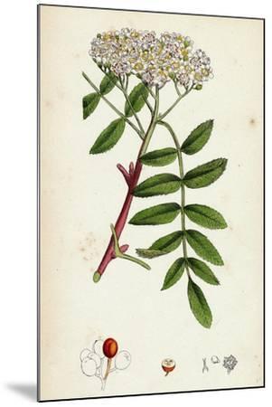 Pyrus Aucuparia Mountain-Ash--Mounted Giclee Print