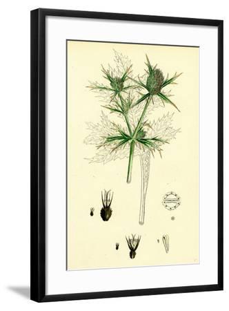 Eryngium Campestre Field Eryngo--Framed Giclee Print