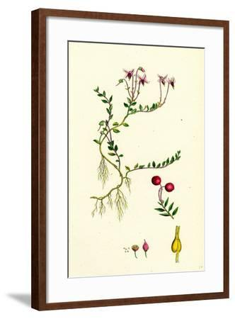 Vaccinium Oxycoccos Marsh Cranberry--Framed Giclee Print