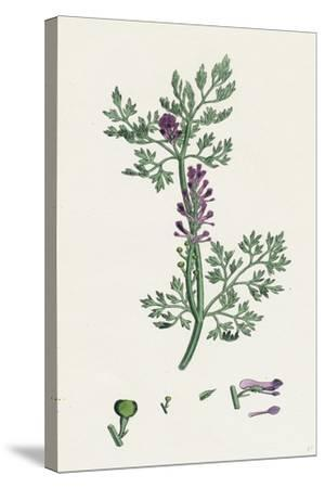 Fumaria Officinalis Common Fumitory--Stretched Canvas Print