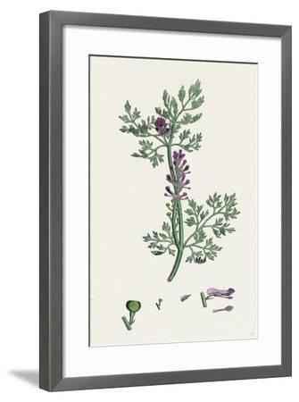 Fumaria Officinalis Common Fumitory--Framed Giclee Print
