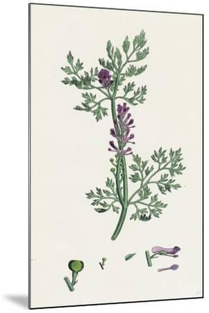 Fumaria Officinalis Common Fumitory--Mounted Giclee Print