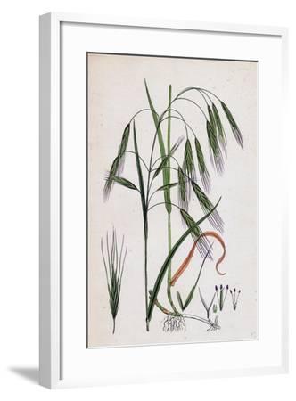Bromus Sterilis Barren Brome-Grass--Framed Giclee Print